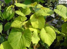Vitis coignetiae -Scharlachwein-