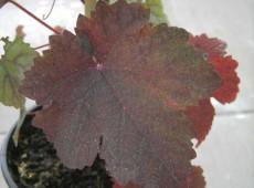 Vitis vinifera purpurea -Färbertraube-