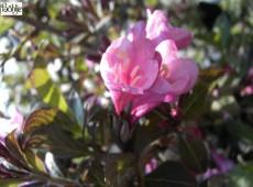 Weigela florida 'Nana Purpurea'