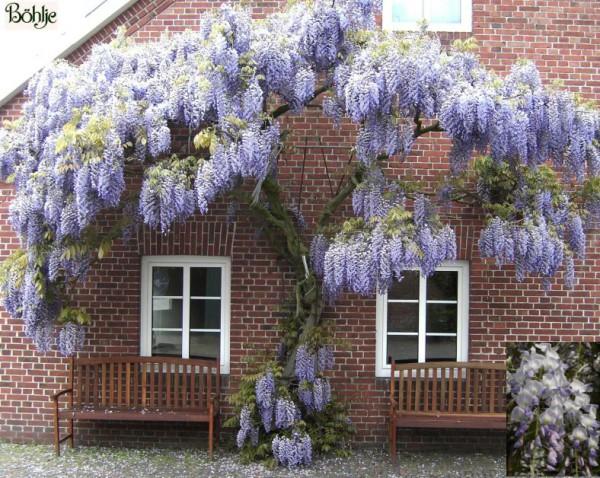 Wisteria floribunda -Blauregen-