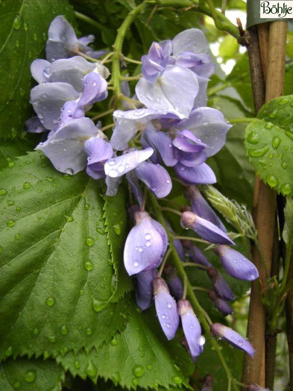 Wisteria floribunda 'Typ Böhlje' -Blaurege / Glycine-