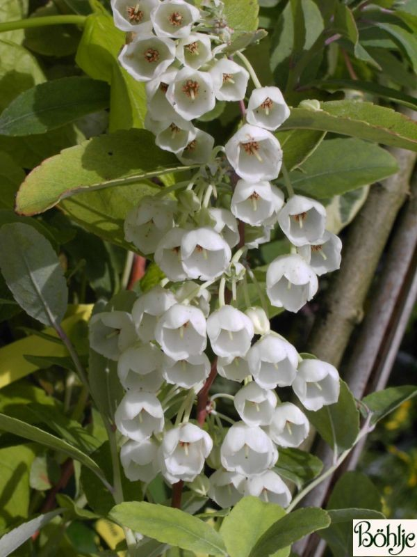 Zenobia pulverulenta (Heidekrautgewächs)